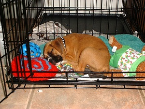 Boxer-pup-in-crate
