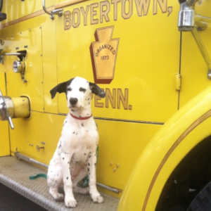 Peyton the Dalmatian hanging out at the fire house