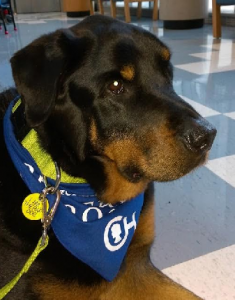 Bosco working as a therapy dog at CHOP